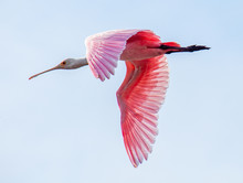 The Bright Pink Wings Of A Roseate Spoonbill In Flight Contrasts Against A Pale Blue Sky.