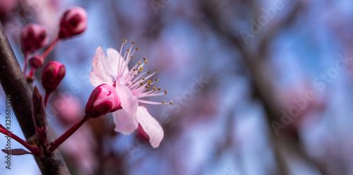 prunus en fleur Fototapete