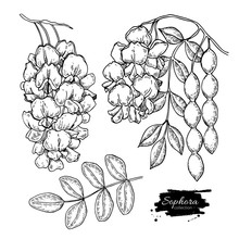 Sophora Japonica Vector Drawin...