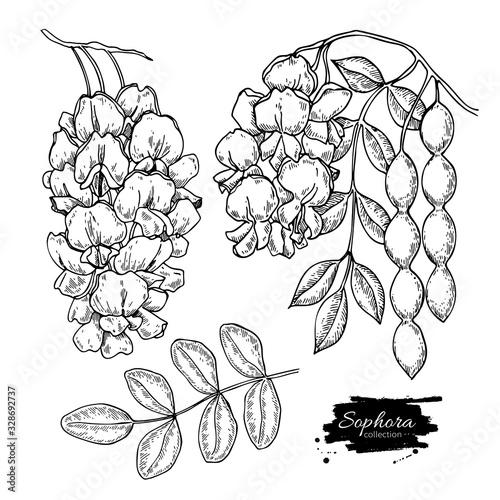 Fotografiet Sophora Japonica vector drawing
