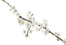 Blooming Wild Plum Tree Flowers Isolated On White Background, With Clipping Path