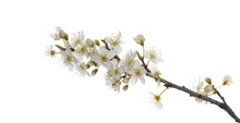 Blooming Wild Plum Tree Flower...