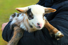 Multicolored Newborn Lamb In T...