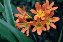 Orange Lilies, Close Up