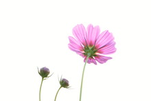 Pink Cosmos Flowers In Cosmos ...
