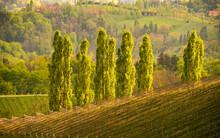 Five Poplars In Sun, Wine Stre...