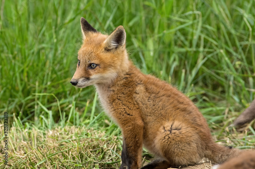 Fotografie, Tablou Red kit fox in the springtime