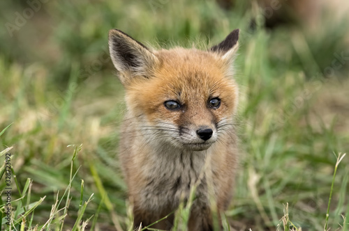 Red kit fox in the springtime Fototapet