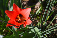 Top View Of One Open Red Tulip...