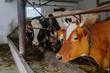cow livestock farm barn Livestock Farm