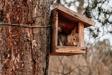 Wild Red European Squirrel Eats Nuts And Hanging Around In His House Built On The Tree In A City Park