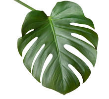Big Green Leaf Of Monstera Pla...