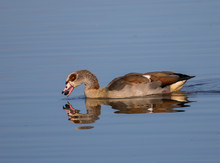 Egyptian Goose On Water