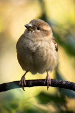 Female House Sparrow (Passer D...