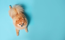 Cute Spitz Dog On  Blue Backgr...