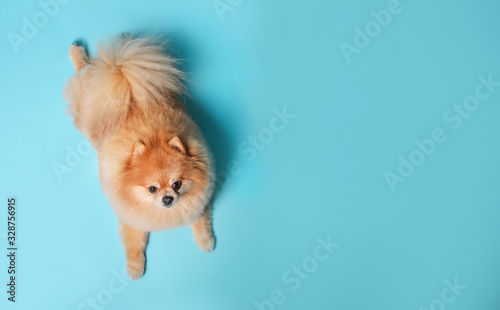 Foto Cute Spitz dog on  blue background