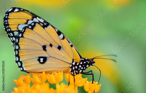 Vászonkép Close-up of a bright tropical butterfly, danaus chrysippus, sitting on yellow fl