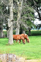Two Draft Horses Grazing