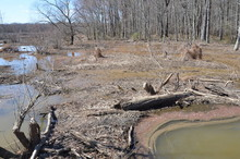 Beaver Dam With Water And Trees In Wetland Environment