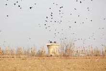 Crows In Groups Near A Construction Site, Tangshan, China
