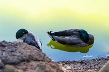 Mallard Duck Floating Peaceful...