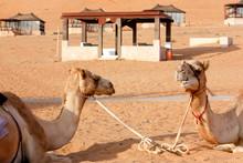 Campo Tendato Deserto Wahiba S...