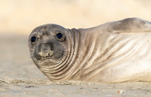 Elephant Seal Pup, Point Reyes...