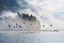 Geese In Southeast Alaska With...