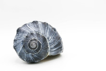 Dark Blue Whelk Shell