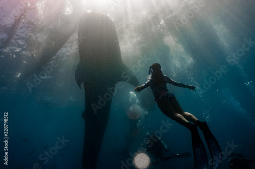 Whale shark (rhincodon typus) diving and close interaction in Oslob, Philippines Canvas Print