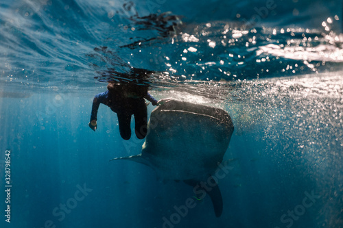 Whale shark (rhincodon typus) diving and close interaction in Oslob, Philippines Wallpaper Mural