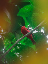 Red Bird Called Summer Tanager