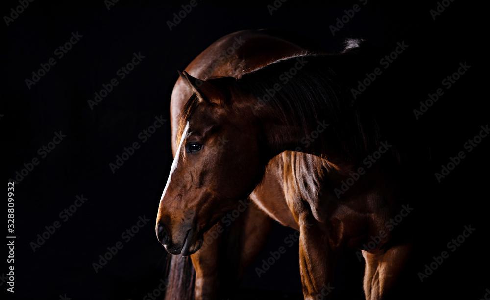 Fototapeta Horse In Studio