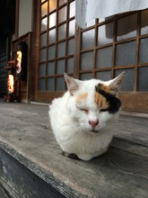 Old Tricolor Tabby Cat Is Clos...