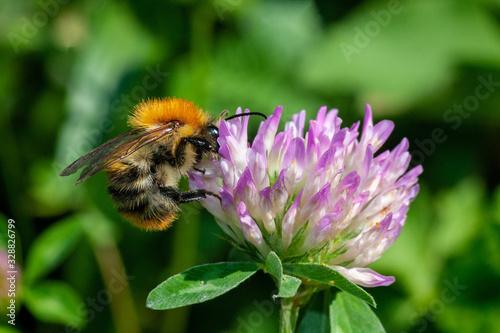 Valokuvatapetti A bumblebee polinating Trifolium pratense, the red clover