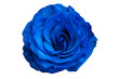 blue rose isolated