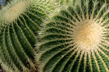 Golden Barrel Cactus (Echinoca...