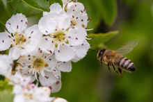 Small Bee That Flies Towards A White Fruit Blossom And Wants To Collect Honey.
