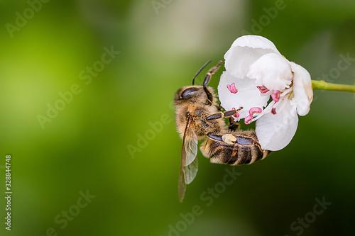 Obraz na płótnie Close-up of a heavily loaded bee on a white flower on a sunny meadow