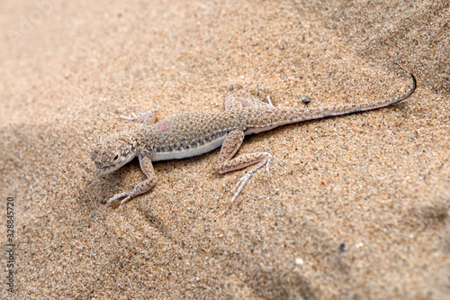 Lizard on the sand Canvas Print
