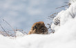 marmot in the snow in winter,Groundhog Day