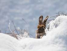 Eared Brown Hare In The Snow