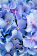 blurry of Beautiful blue hydrangea flower background.Flower is love of couples on Valentine's Day.