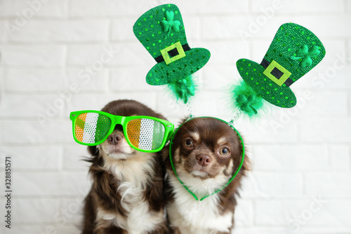 fototapeta na drzwi i meble two funny chihuahua dogs posing for st patrick day indoors