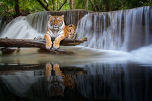 Tiger Sit In Waterfall In Deep...