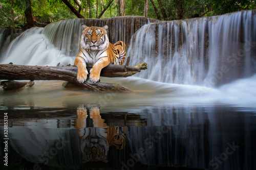 Photographie Tiger sit in waterfall in deep wild