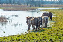 Horses In A Field Along A Lake In A Natural Park In Sunlight In Winter