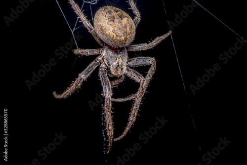 Spider on black background ( Nuctenea umbratica ),  the walnut orb - weaver spid Wallpaper Mural
