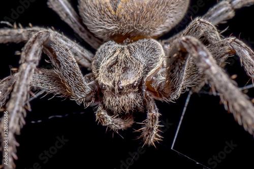 Photo Spider on black background ( Nuctenea umbratica ),  the walnut orb - weaver spid