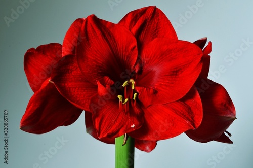 Red Amaryllis flowers on white and blue background, vintage style Canvas Print